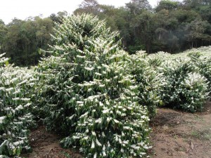 Coffea Arabica_Bush