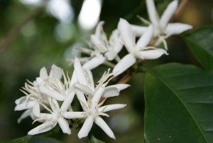 Coffea_arabica_flowers_red