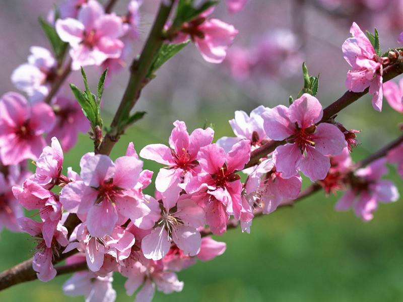Prunus-persica