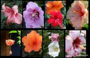 nb_hibiscus